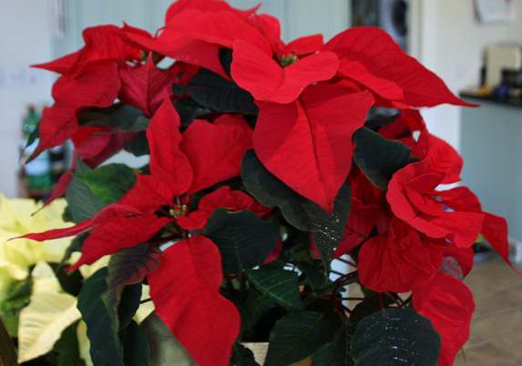 Keep Christmas House Plants Going For Longer Amateur