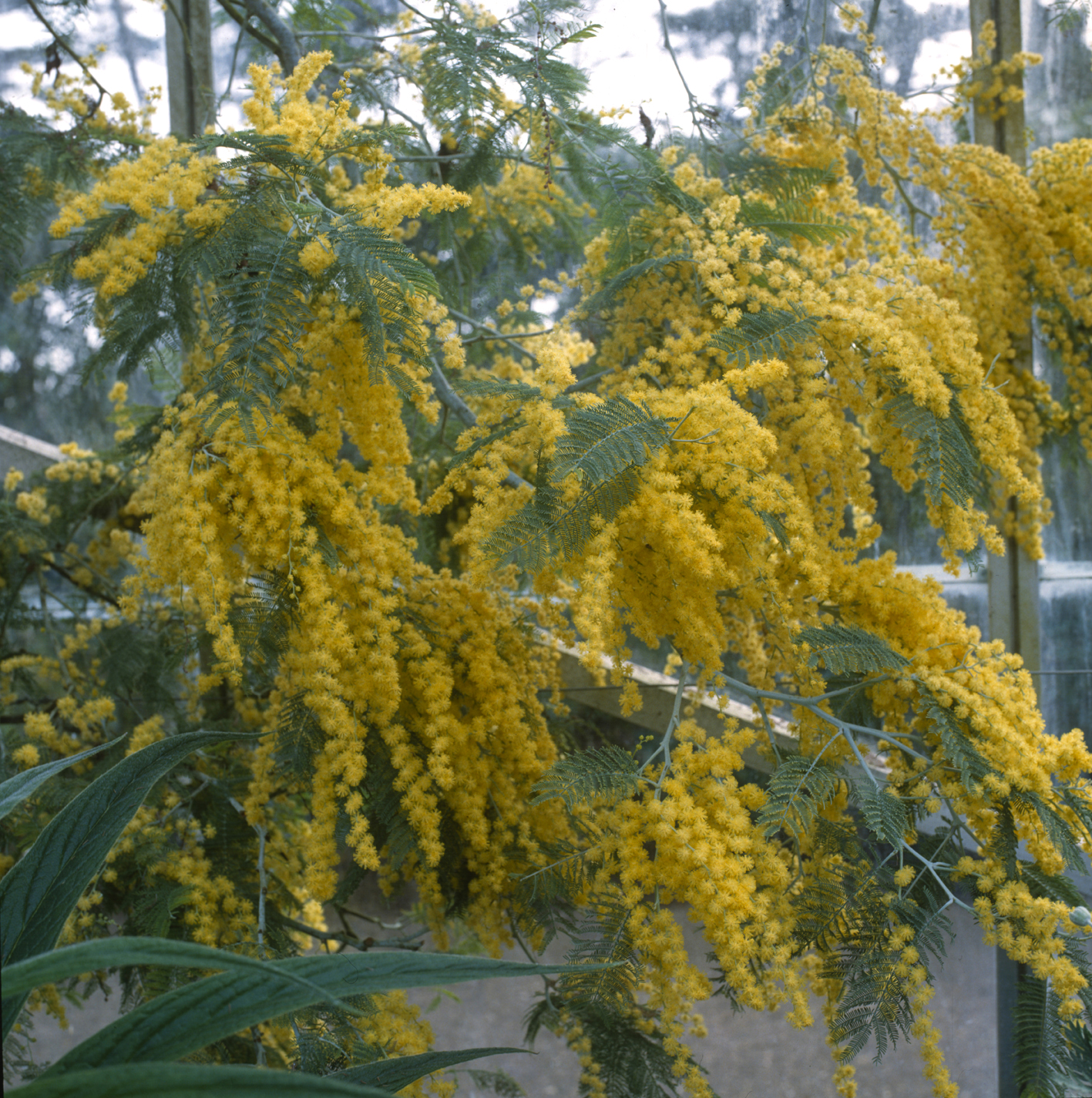 How to grow acacia mimosa amateur gardening acacia baileyana mightylinksfo