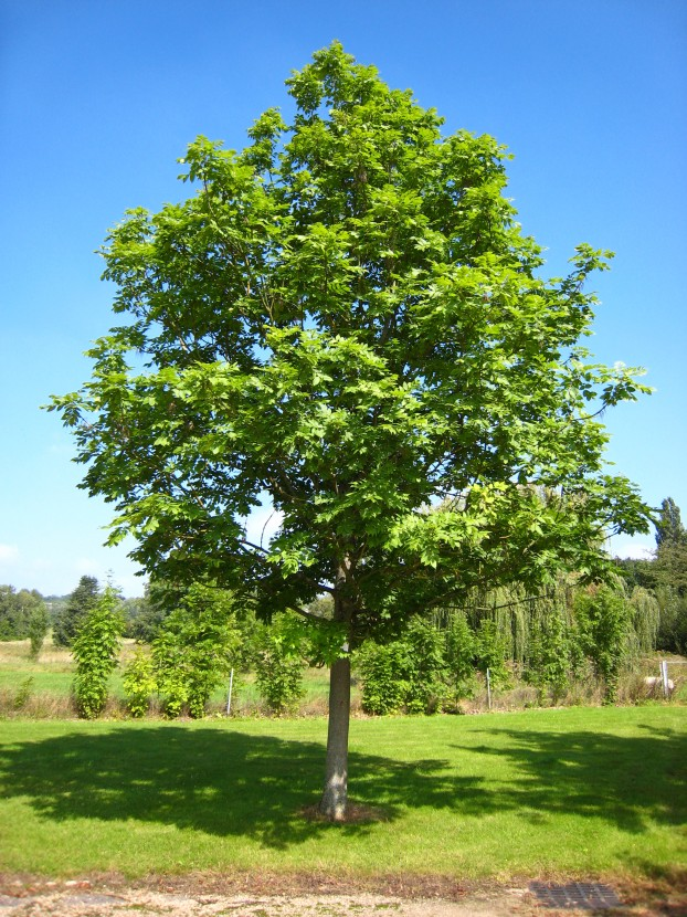 At risk: an ash tree [credit: WikiMedia]