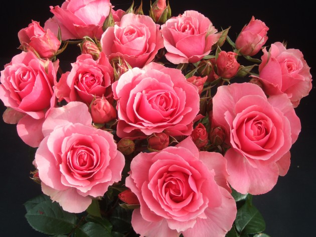 Rose of the Year 2013 'You're Beautiful'