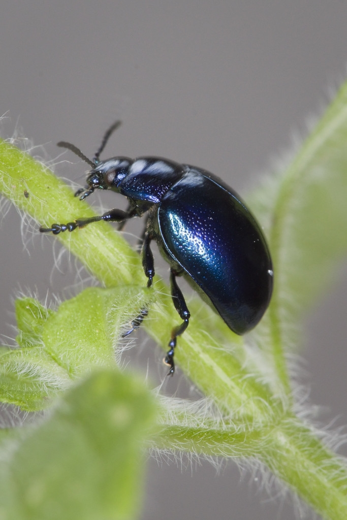 Watch Out For Blue Mint Beetle Amateur Gardening