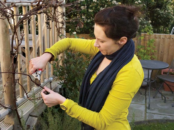 Grape Pruning In Winter Amateur Gardening