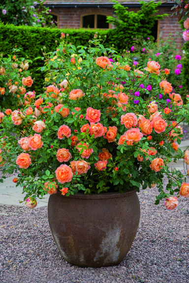 Best roses for containers - Amateur Gardening