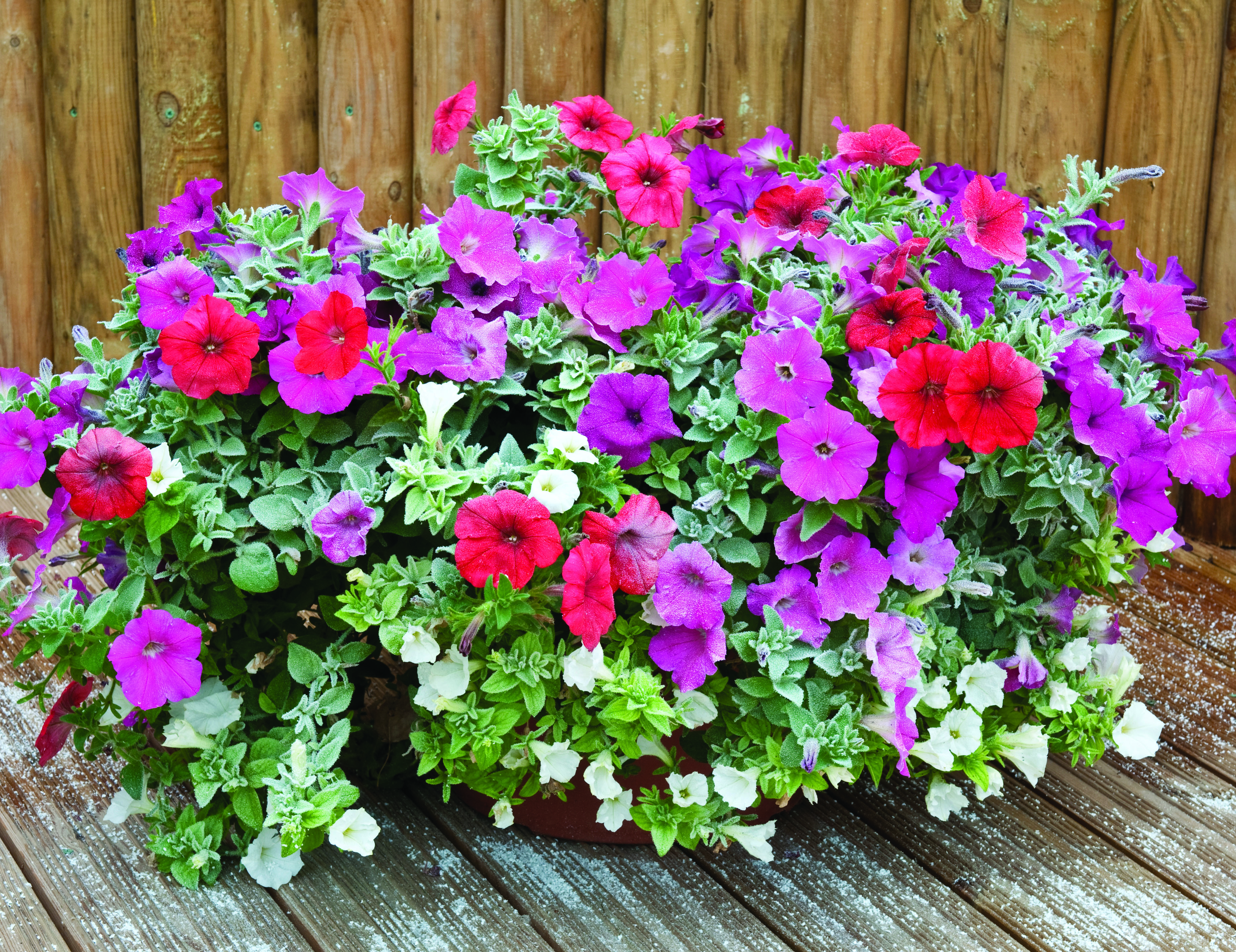 first frost hardy petunias go on sale amateur gardening. Black Bedroom Furniture Sets. Home Design Ideas
