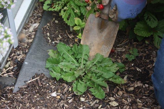Removing Weeds Weeding Digging Up Dandelion With Trowel