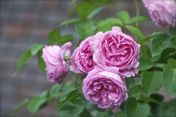 Top 10 Roses For Scent Amateur Gardening