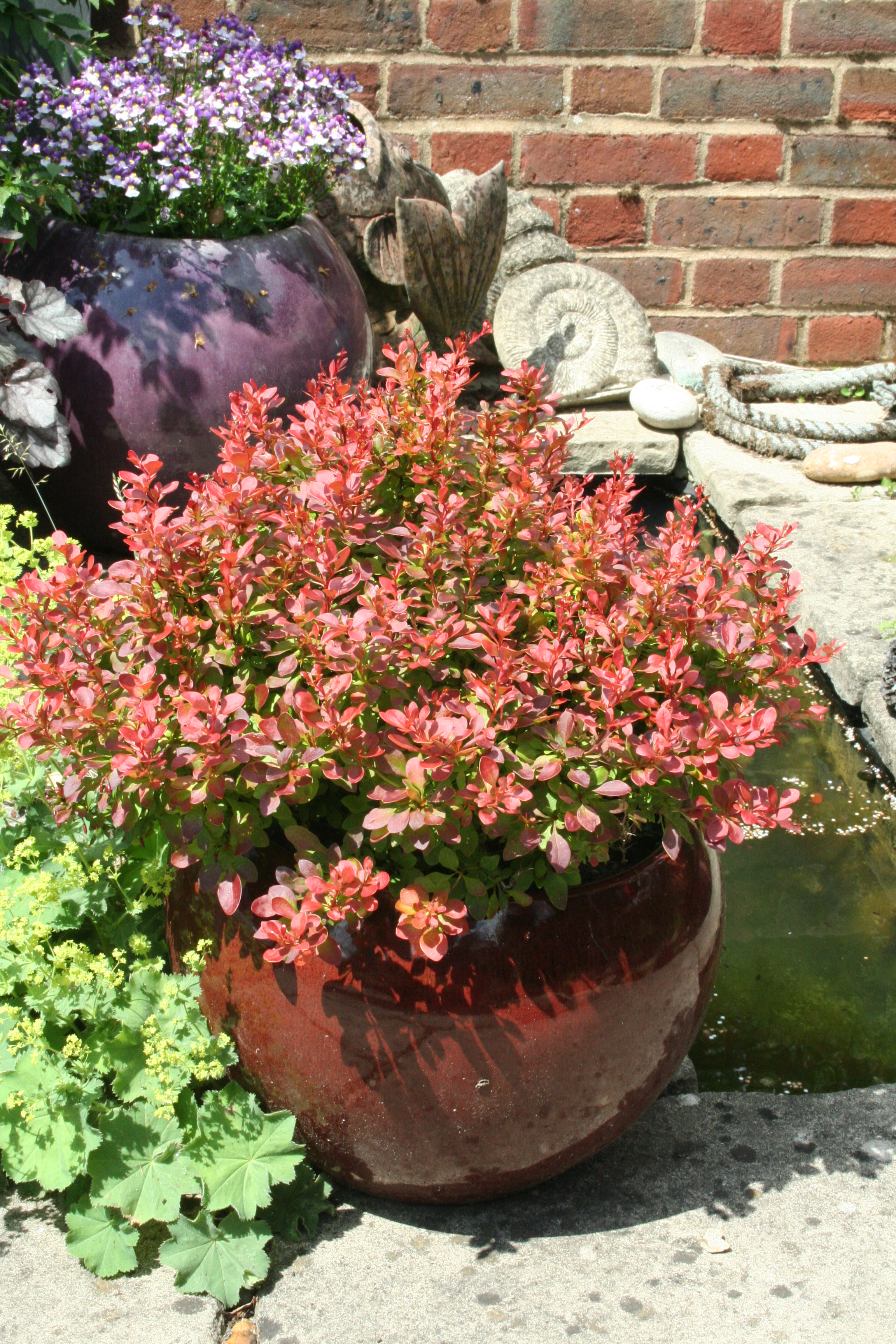 Shrubs In Tubs Planting Advice Amateur Gardening
