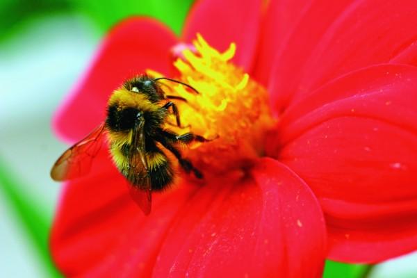 Bees and neonicotinoids