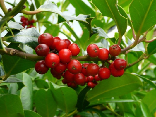 Holly berries are already turning red in some areas