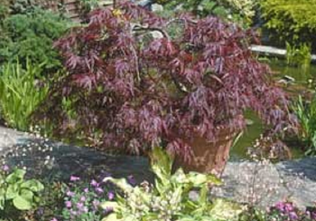 How To Grow Japanese Maples Amateur Gardening