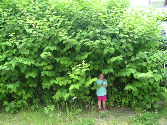 Half Of Brits Fail To Identify Japanese Knotweed