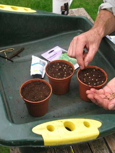 Sow A Pot Of Coriander Gardening
