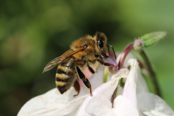 The National Pollinator Strategy aims to help bees
