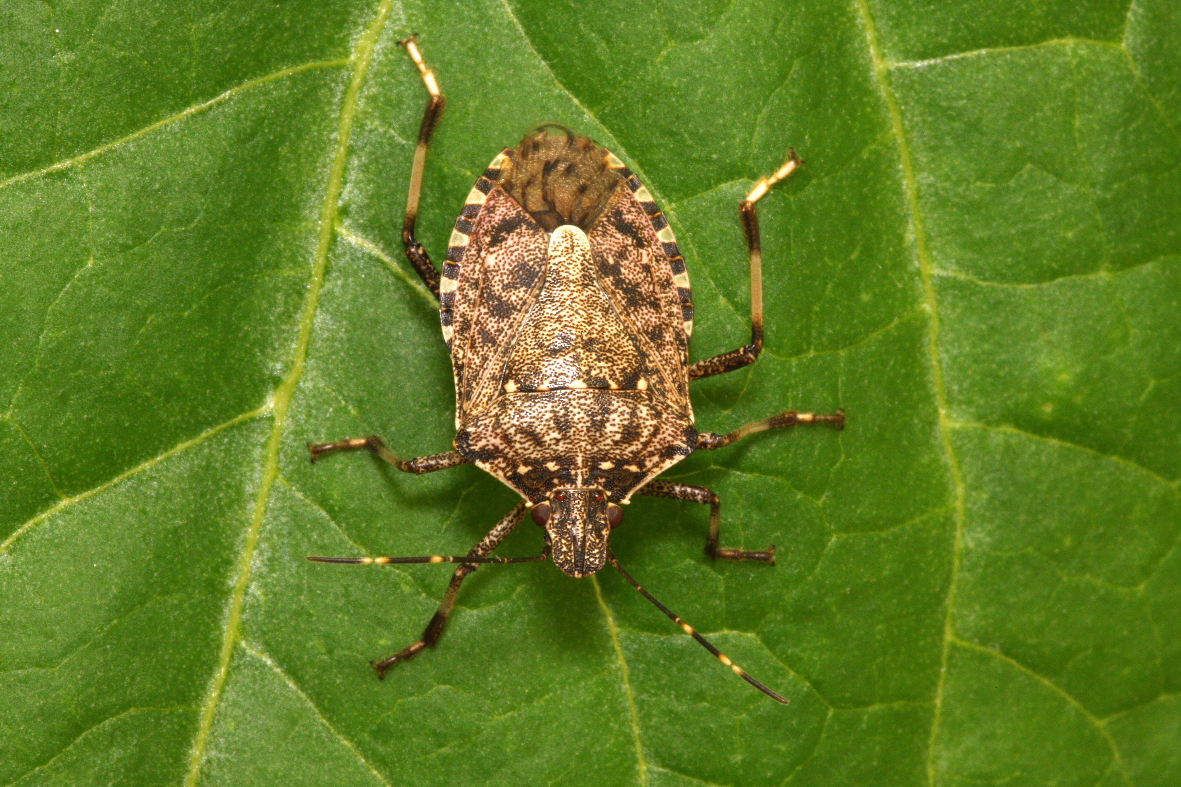 Brown stink bugs pose a threat to the UK - Amateur Gardening