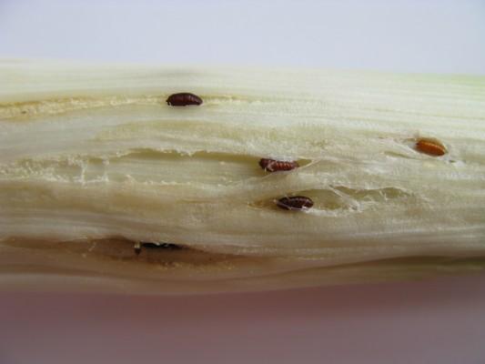 Allium leaf miner