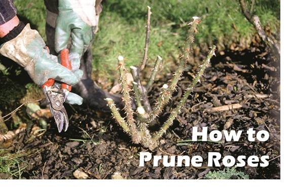 How far to cut back rose bushes
