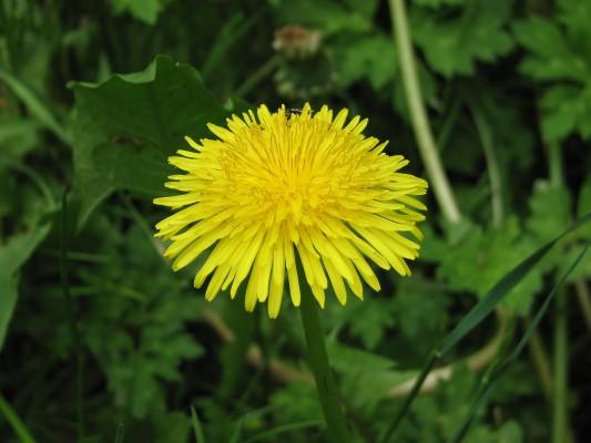 Dandelion wildflower