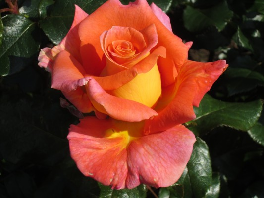 The Inspiration rose