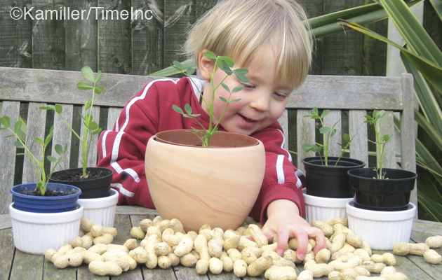 How to grow monkey nuts - a great gardening project for kids