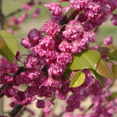 The new cercis