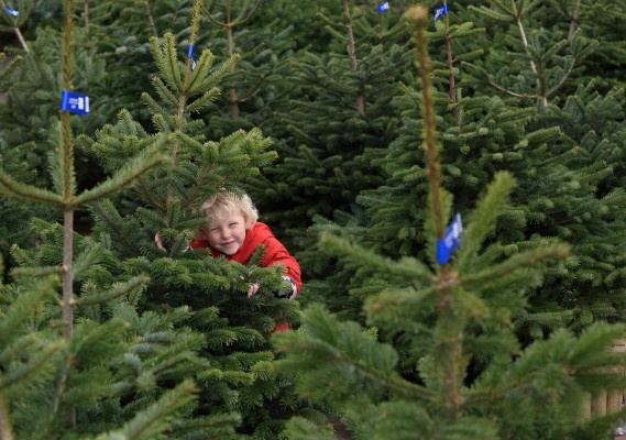 Wyevale Christmas trees