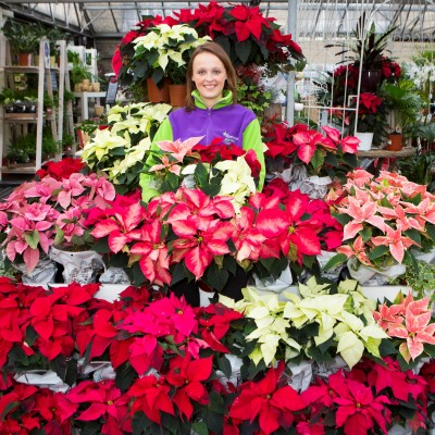 Poinsettias at Wyevale