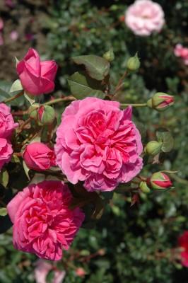 Rosa Sandringham