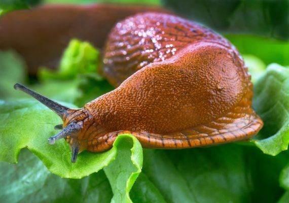 It's a bad year for slug damage