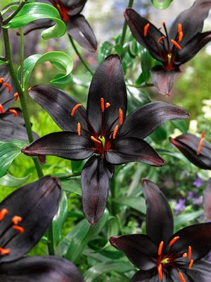 Lily queen of the night