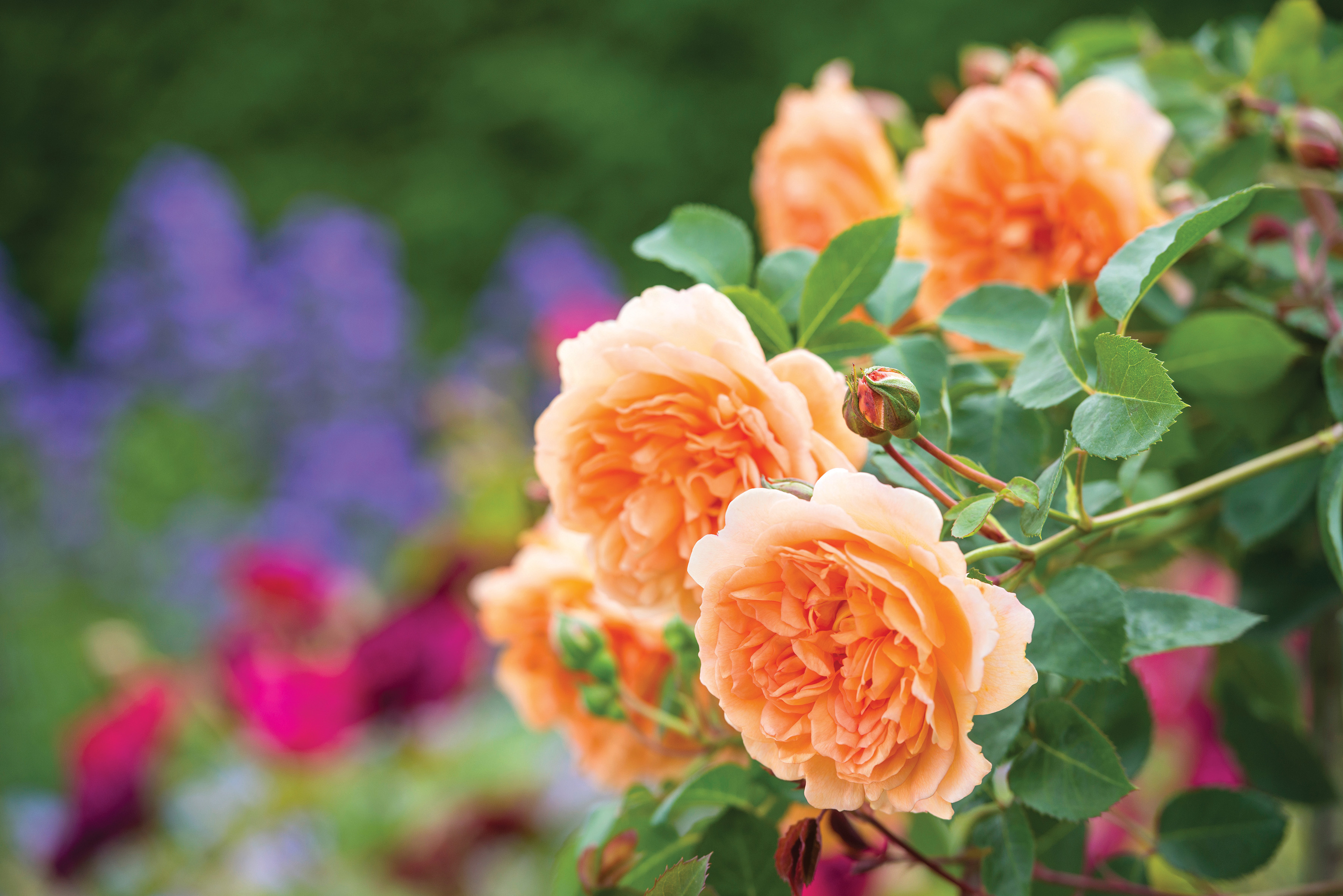 Roses In Garden: Rose To Be Named After Dame Judi Dench At The RHS Chelsea