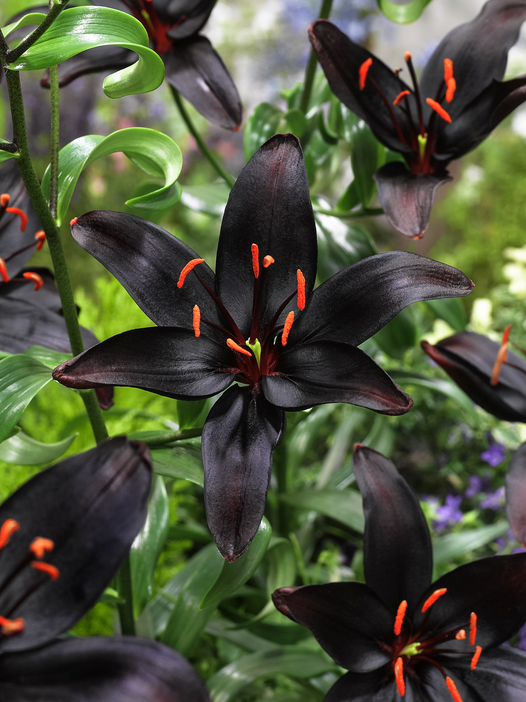 Lilies How To Care For Lily Flowers With A Look At Queen Of The