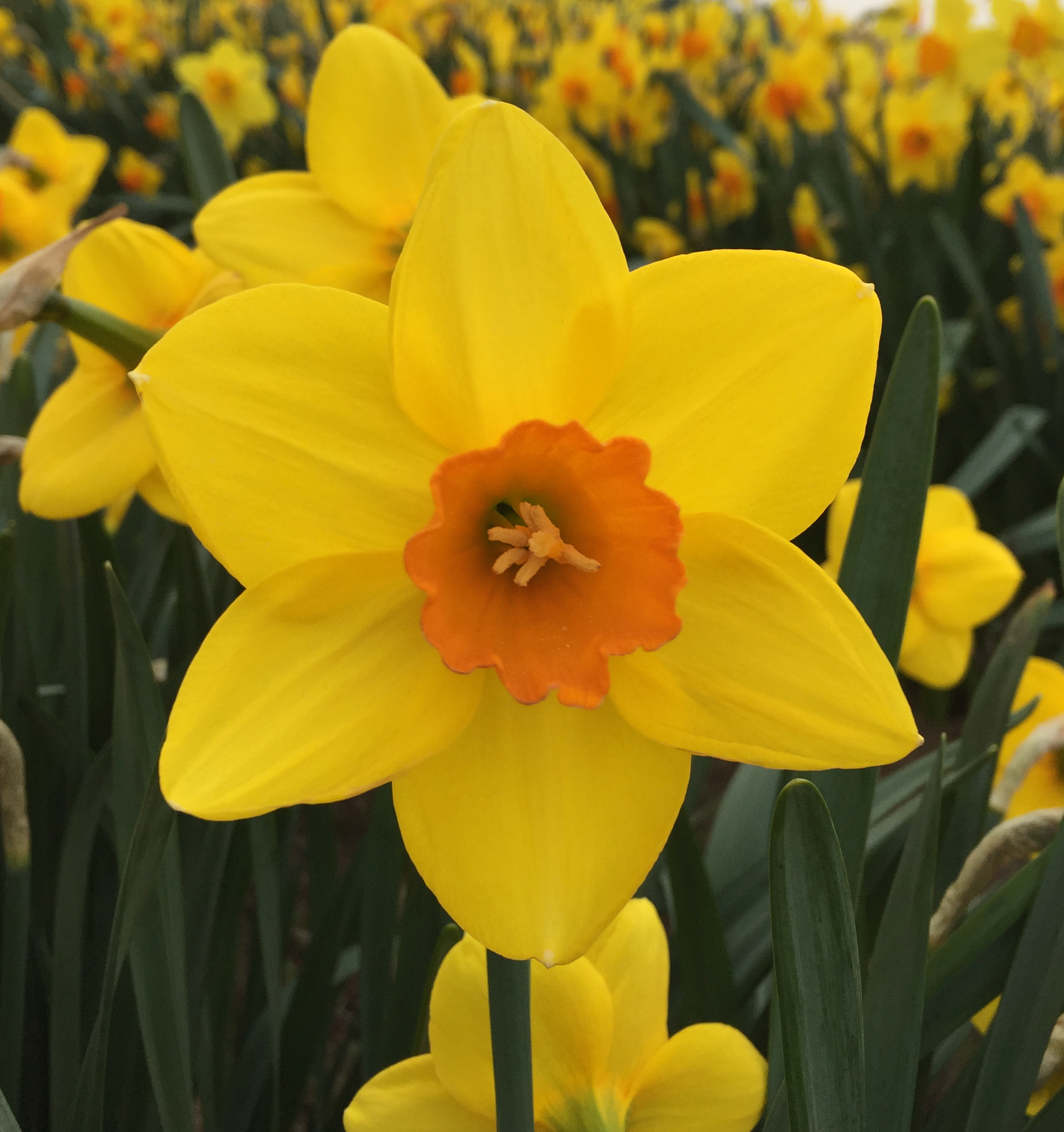 New daffodil to celebrate the Queen's 90th birthday - and it's only a year late! - Amateur Gardening