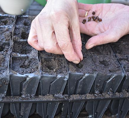 Sow more sweet peas - Amateur Gardening