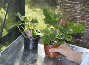How to tidy up the strawberry patch - Amateur Gardening