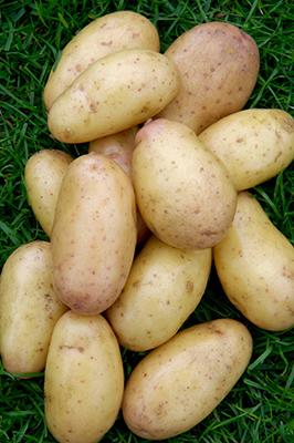 Potato 'Harlequin' MIW252243