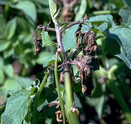 NP Wikimedia-Late_blight-Phytophthora_ for web