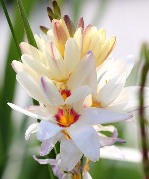 F4TYNN White Ixia flowers