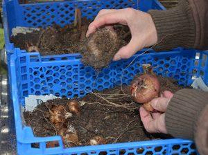 dahlia tubers and gladioli corms