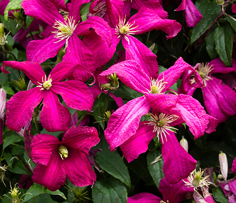 EY1BTG July flowers of the hardy climber, Clematis viticella 'Madame Julia Correvon'