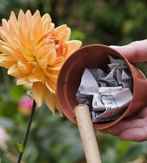Plant out dahlias