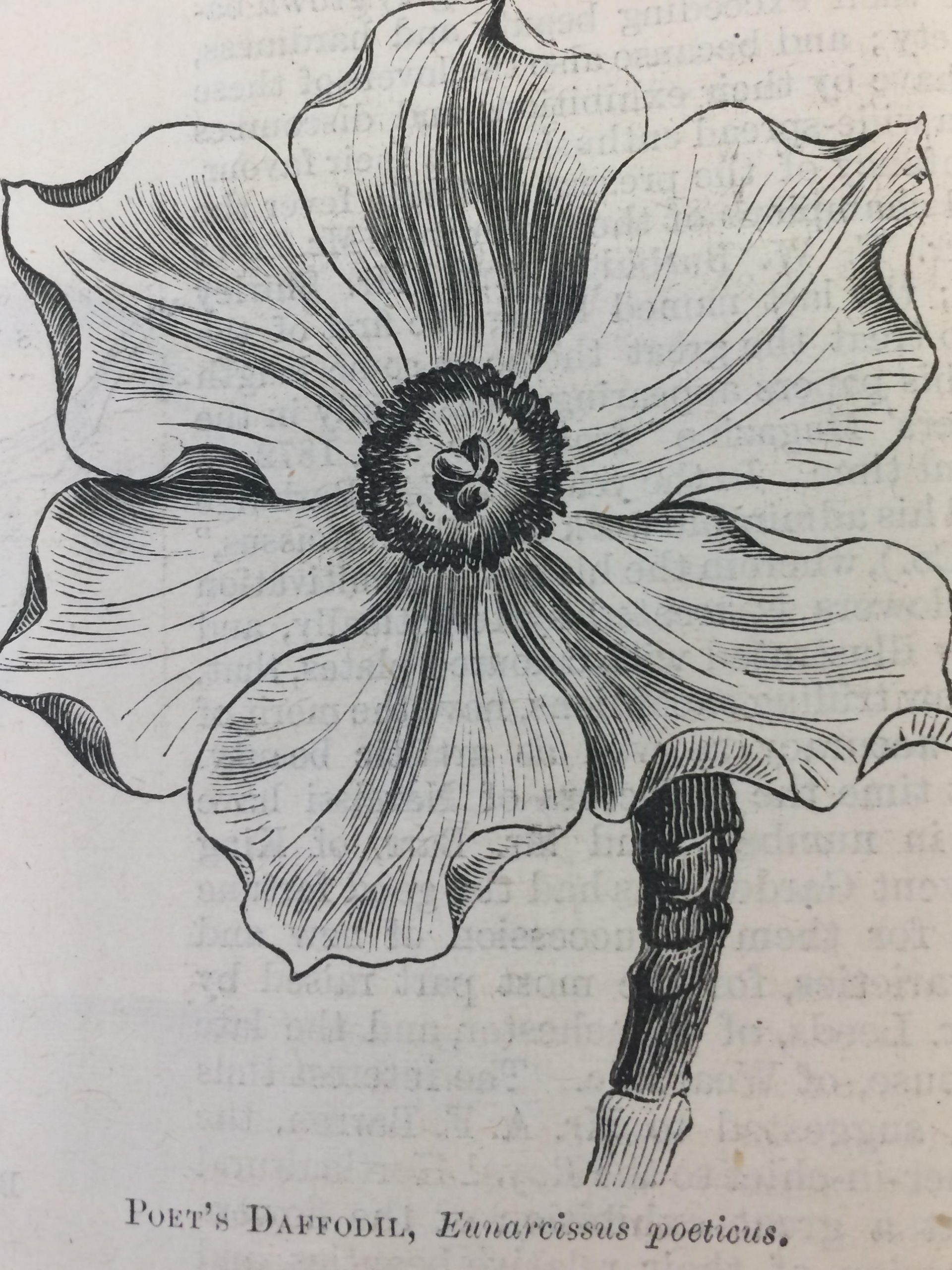 Shirley Hibberd Poet's Daffodil
