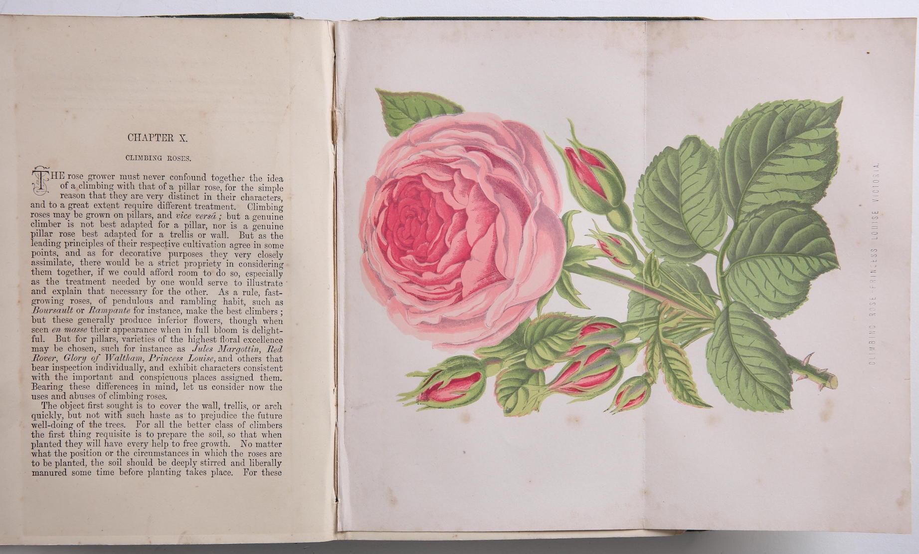 Shirley Hubbard Amateurs Rose Princess Louise Victoria