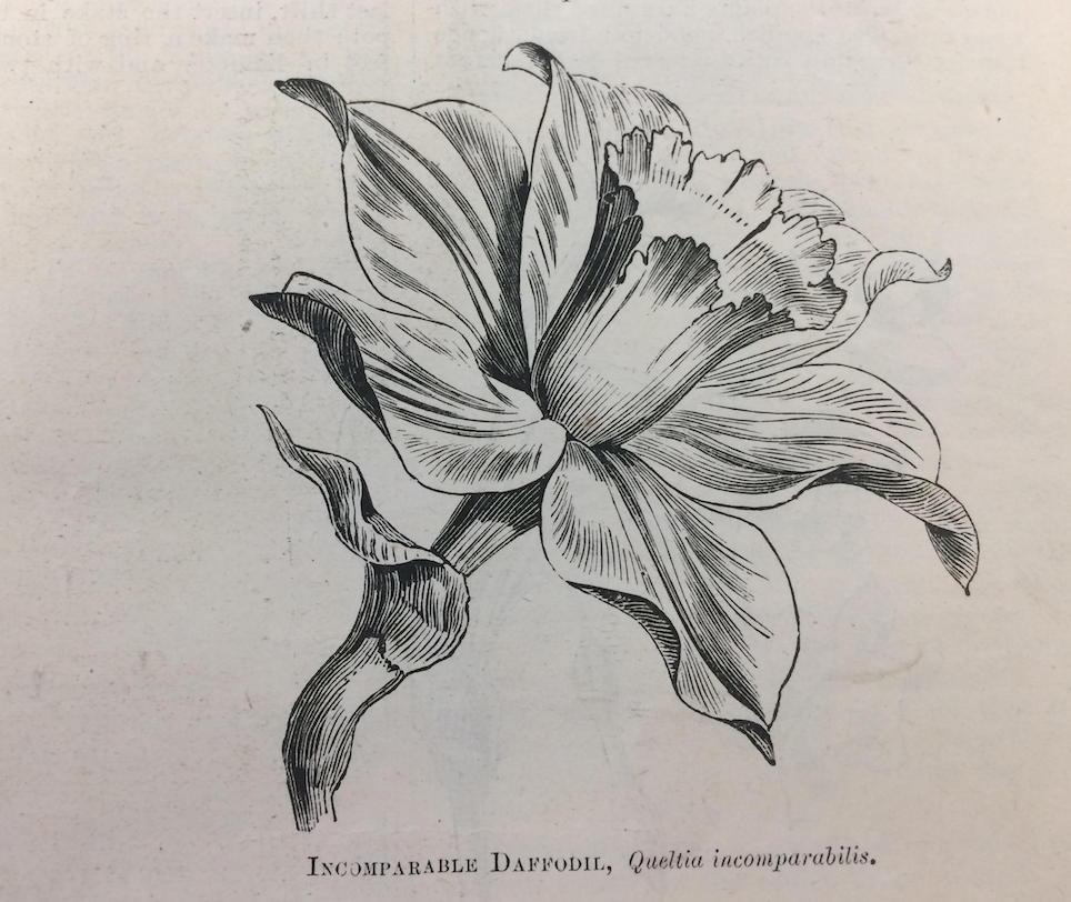 Shirley Hibberd Incomparable Daffodil