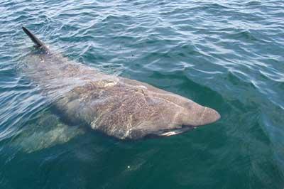 Basking Shark off Mevagissey