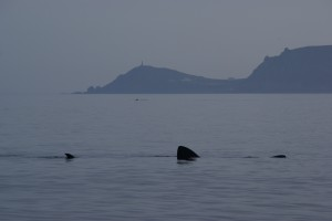 Basking sharks with Cape Cornwall beyond