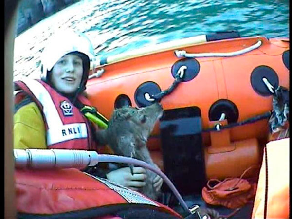 Swanage Lifeboat Deer rescue