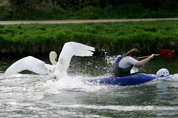 Rive Cam swan