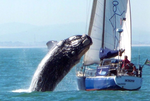 Whale meets yacht