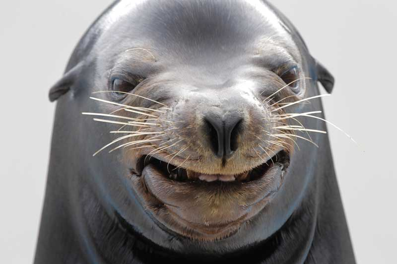 Smiling sea lion