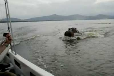 Hippo chases boat
